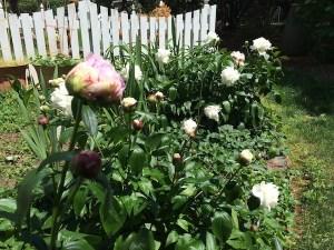 garden-peonies