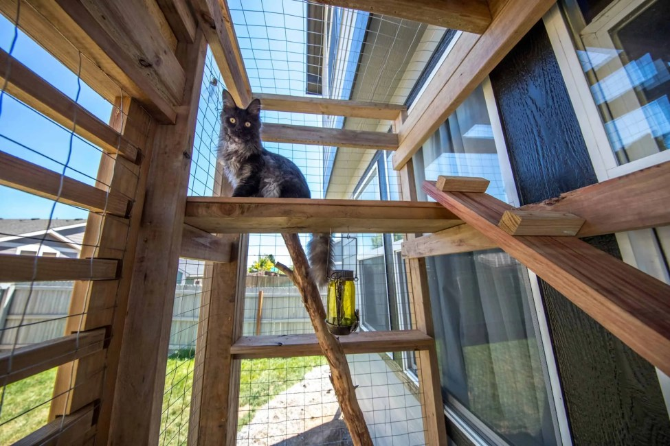 maine coon in catio