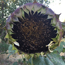 Sunflower seeds ready to harvest