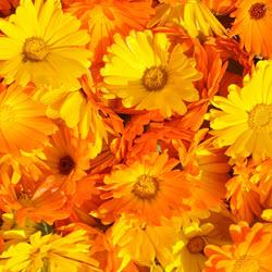 Calendula Flower Salve