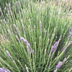 Lavender Farm in Loomis and Sacramento