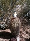 Pengee on cactus