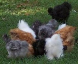 Assorted Silkies