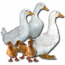 Jumbo Pekin Ducks
