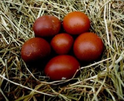 Dark Brown Egg