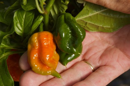 Superhot Chillies from The Chilli Guy