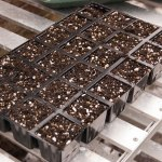chilli seeds sown