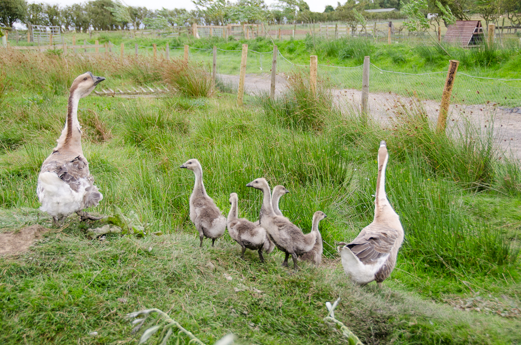 A photo of some of our Chinese geese with their goslings