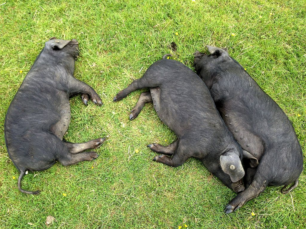 A photo of our three Large Black sows, basking in the sunshine.