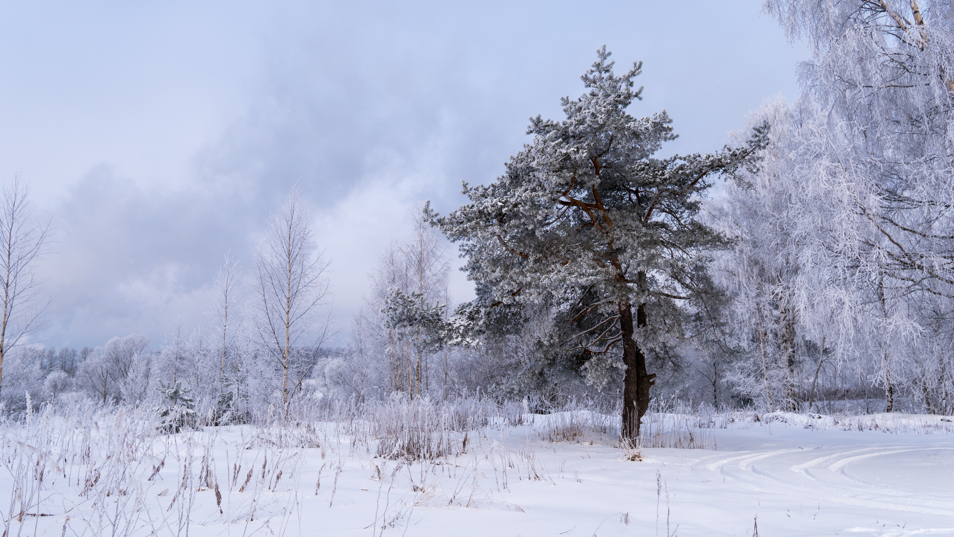 spruce-3543061