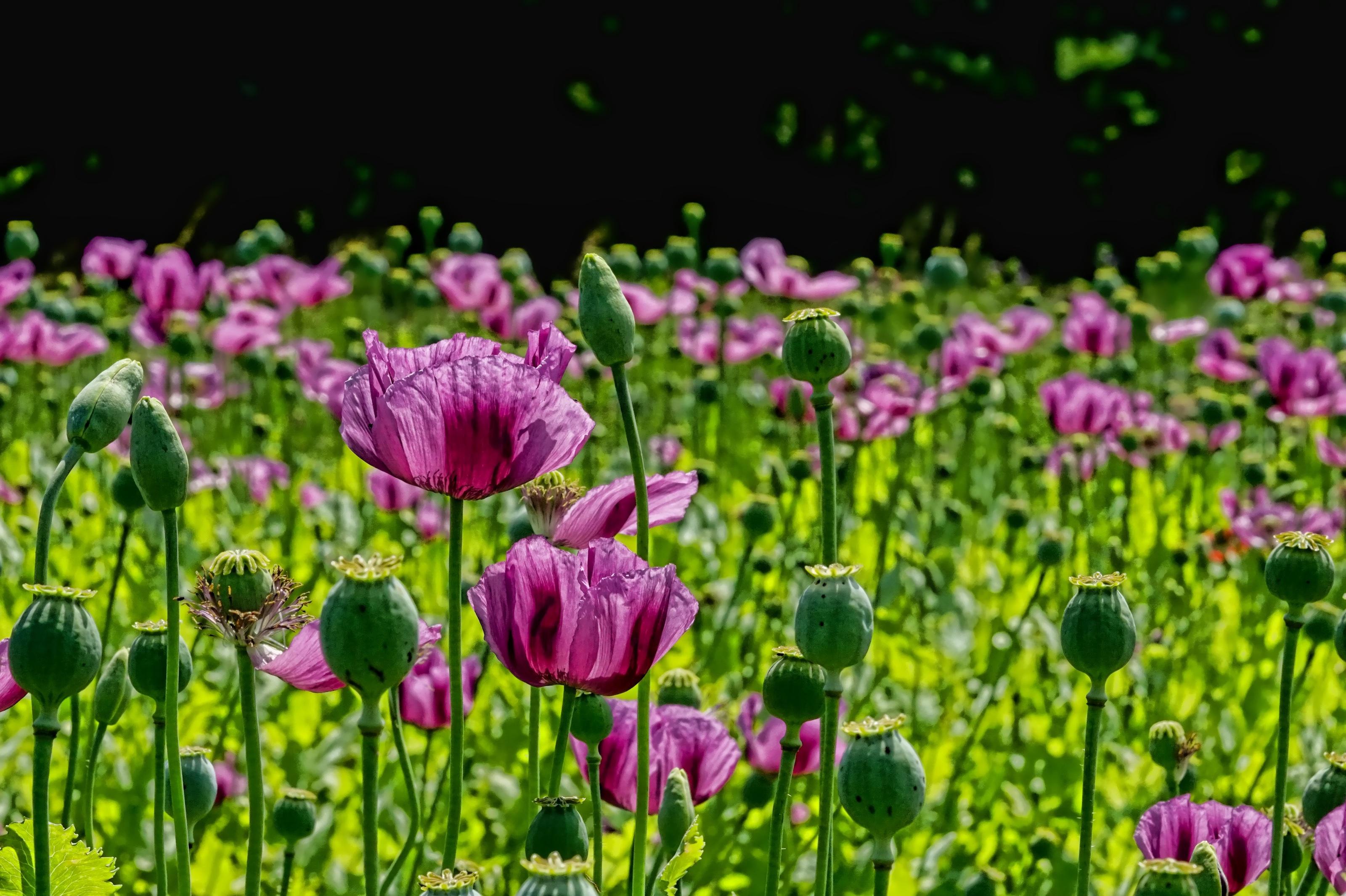 poppy-flower-3432093
