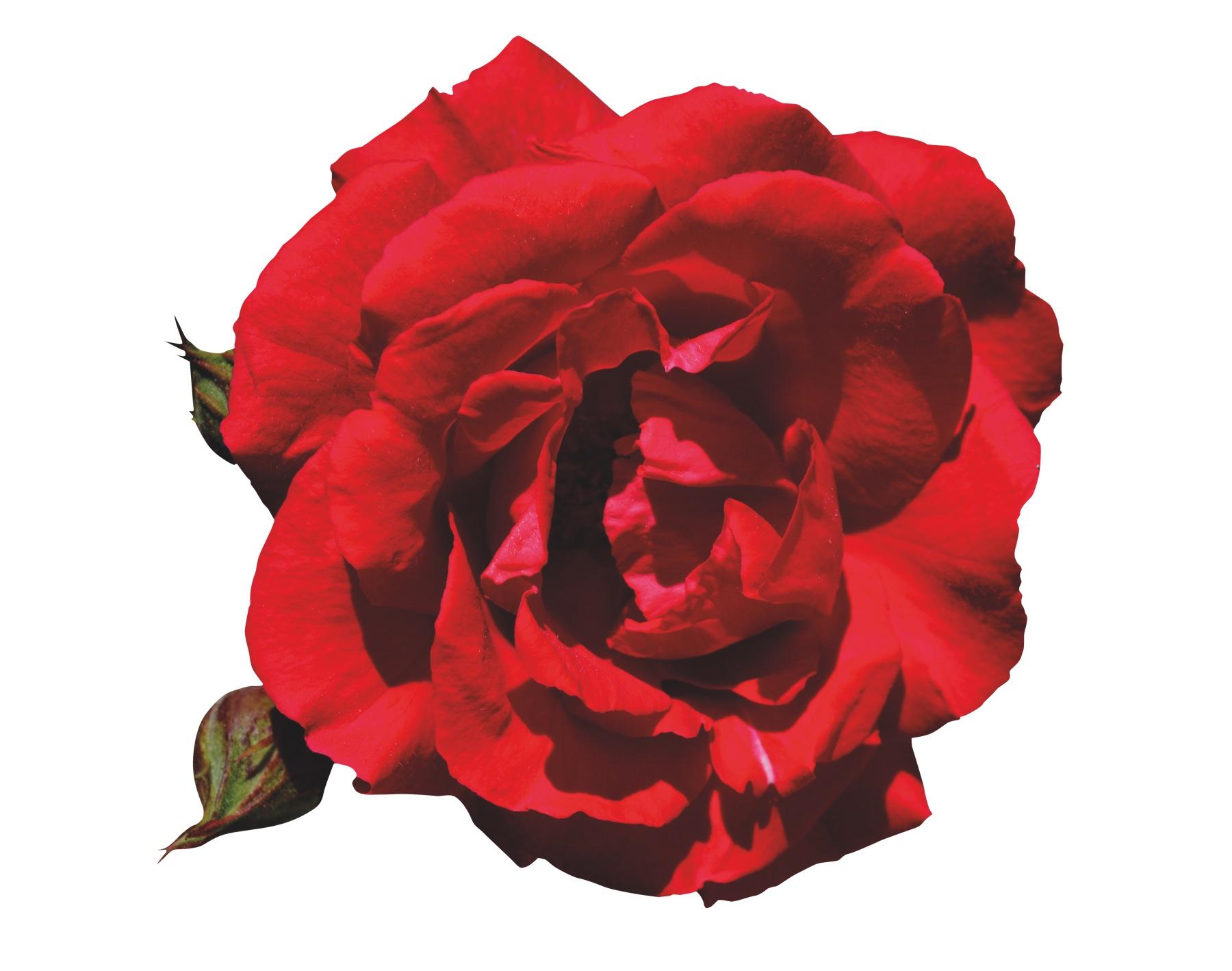 FF201911-rose-3738113