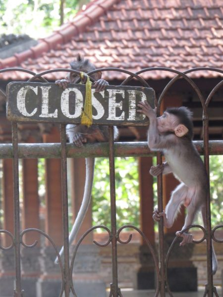 monkeys ubud sanctuary - How to Spend Less Than $50 A Day in Bali