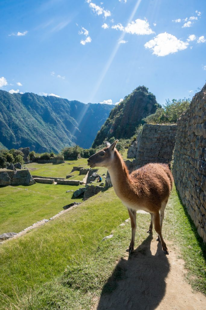 Machu Picchu's new entrance regulations; llama