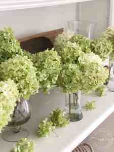 Limelight Hydrangea 6