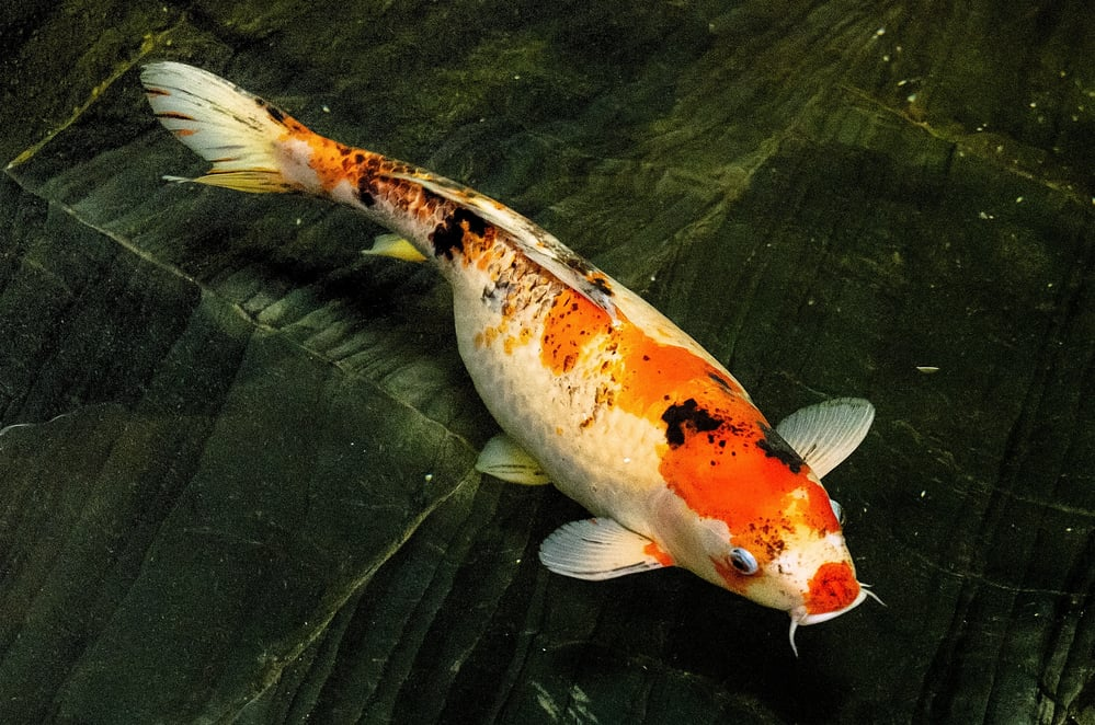 koi fish alone