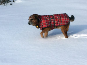 Big goofy dog in plaid coat in the snow