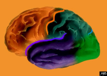 The brain, even from the outside looks complex, despite the artistic attempt to create a homogeneous organ. It has been a challenge and will continue to be a challenge for scholars and the lay public alike for years to come. This is a diagram looking at the forebrain from the side showing the anteriorly placed frontal lobe (orange), separated from the inferiorly placed temporal lobe by the Sylvian fissure (purple), and separated from the parietal lobe by the central sulcus (orange). The parietal lobe is also separated from the temporal lobe by the Sylvian fissure and from the occipital lobe by the parieto-occipital fissure (light blue). The Common vein Davidoff art copyright 2014 All rights reserved