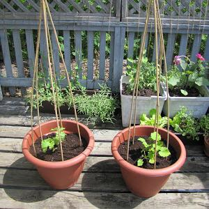 Image Result For Vegetables That Can Be Grown In Pots At Home