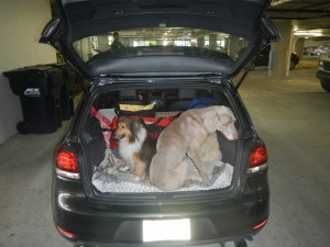 Dogs in a GTI ready for a  Road Trip Miami to Jacksonville