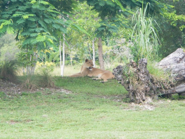 Lioness at Zoo Miami