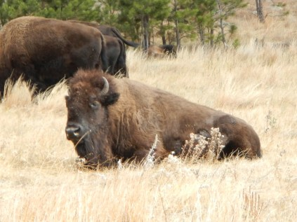 Bison in Custer State Park South Dakota