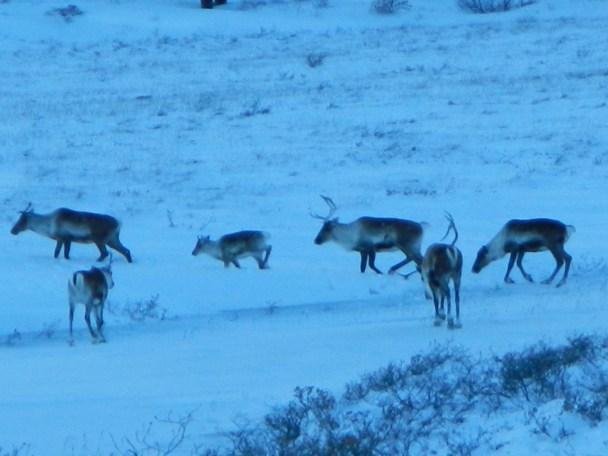 Migrating herd of Caribou | Alaska