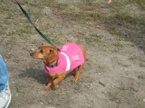 Wiener dog princess at Scarecrow Fest St. Charles IL 2012