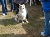 Aussie Shepard at Scarecrow Fest