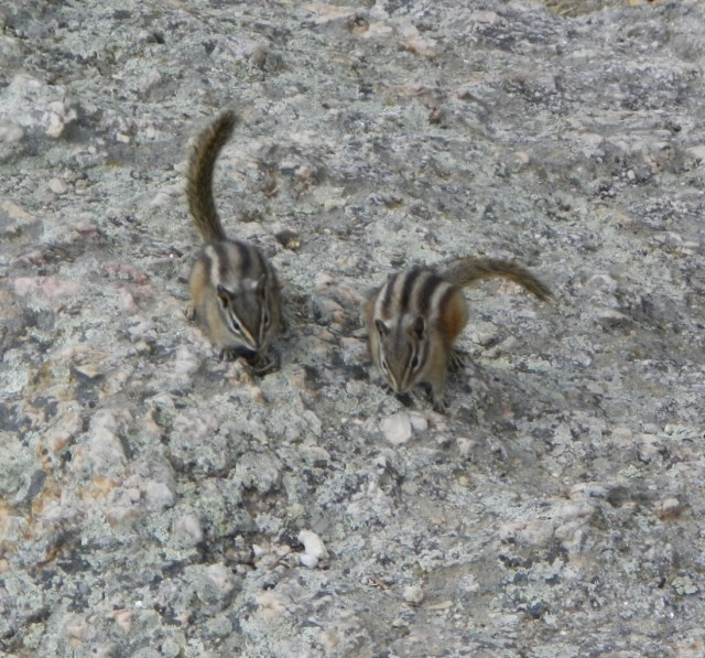 Chipmunks of Custer State Park
