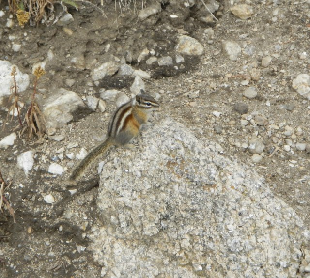 The Chipmunks of Custer State Park