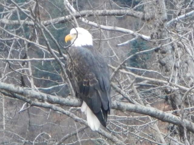 Bald Eagle in Valdez