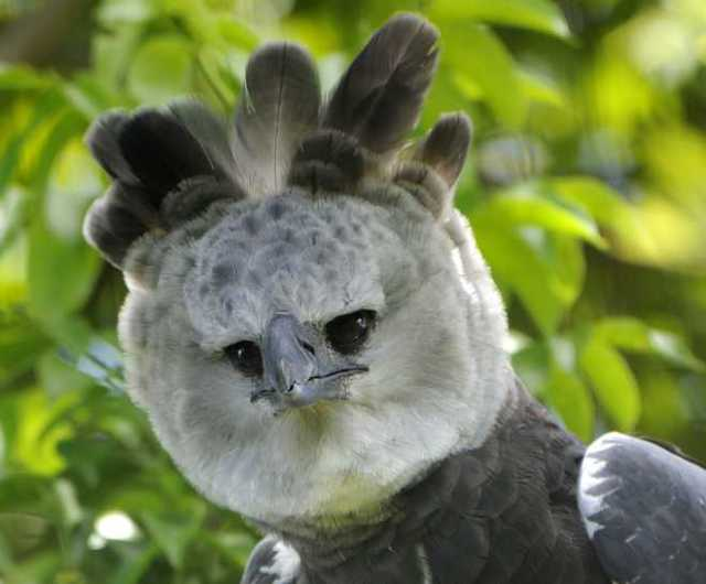 Miami Zoo Harpy Eagle Head Shot