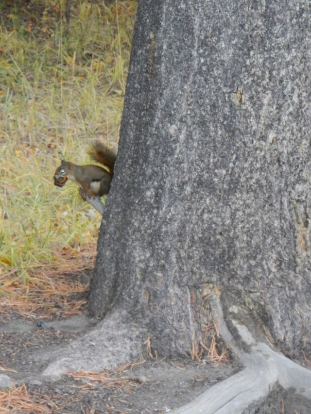 Squirrel on Tree in Banff