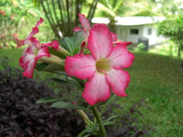 Flower in Trinidad