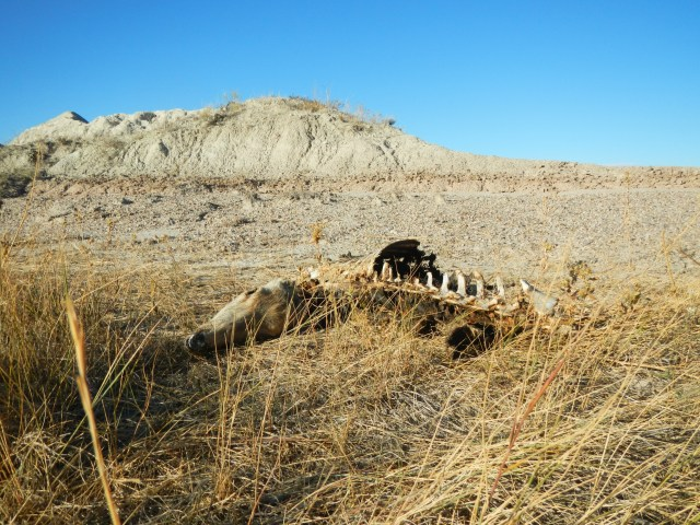 Dead Deer in the Badlands