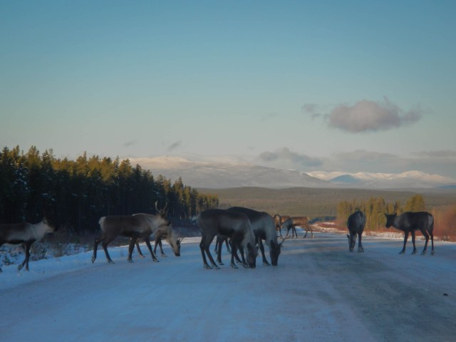 Herd of caribou in the Road
