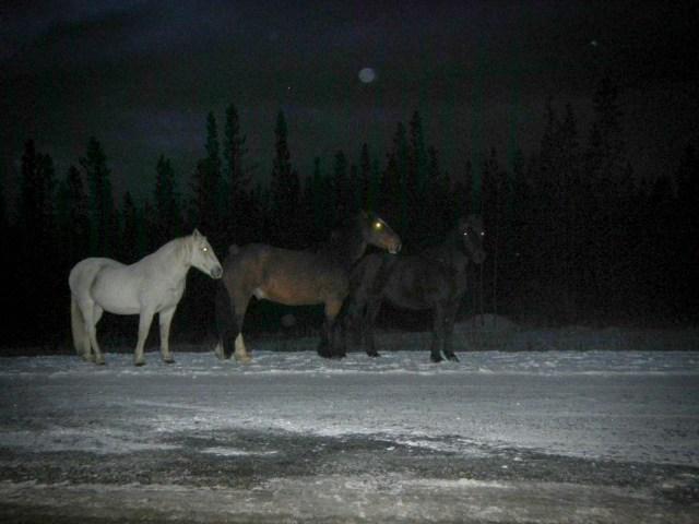 Wild Horses along the Alaska Canada highway