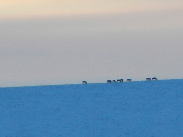 Caribou crossing on the horizon