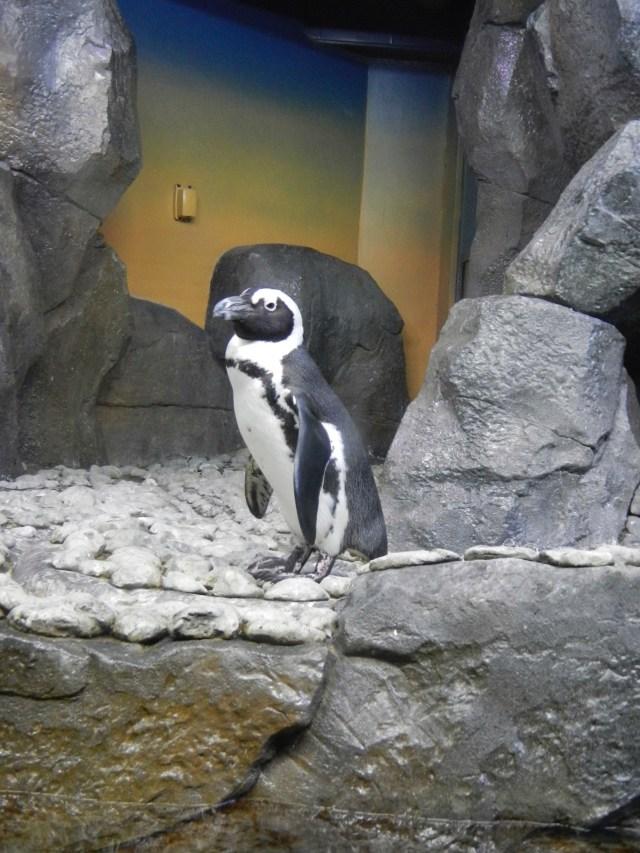 Aquarium penguin