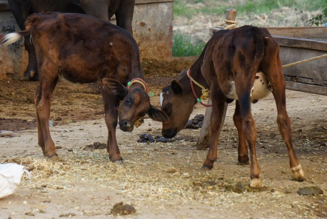 Baby cows in India - calves