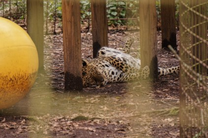 Armani - Leopard-Big Cat Rescue-1
