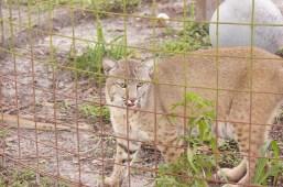 Bobcat-4-Big Cat Rescue-1