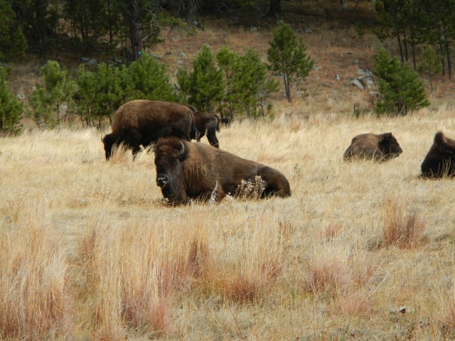 Seeing Bison in South Dakota