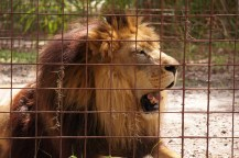 Joseph-lion-2-Big Cat Rescue