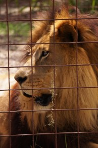 Joseph-lion-Big Cat Rescue