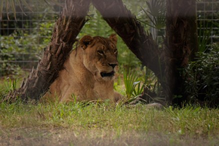 Nikita - Lioness-Big Cat Rescue