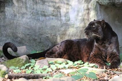 Saber black leopard_Big_Cat_Rescue