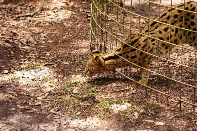 Serval - Desiree - Big Cat Rescue