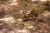 Serval - Desiree - Big Cat Rescue